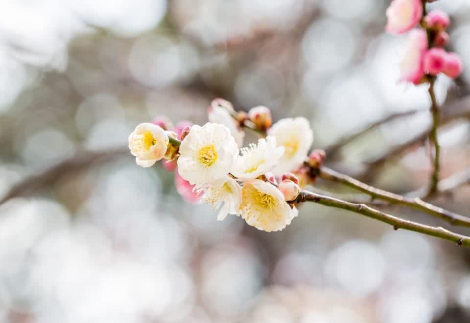 写真:枝に咲く白梅の花