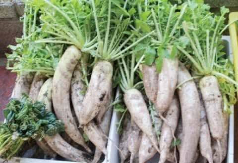 写真:無料野菜市場に並んだたくさんの大根
